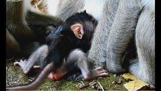 baby monkey play with big monkey