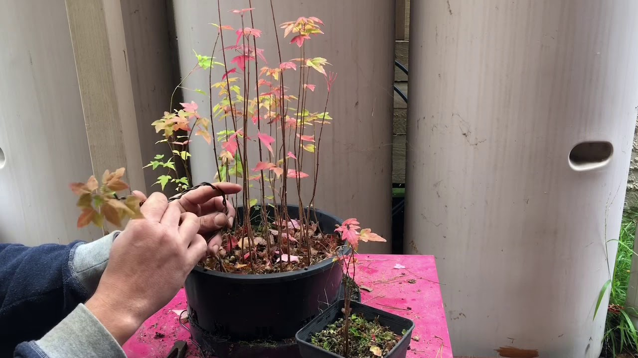 How To Grow Seedlings For Bonsai Trident Maple How To Style And Shape Bonsai Early Development Youtube