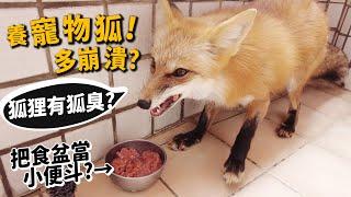 【從零開始養】寵物狐狸!狐狸有狐臭?把食盆當小便斗?跟狗誰好養?【許伯簡芝】fox