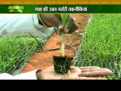 Know how to get better yield of sugarcane