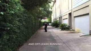 Giant Schnauzer Learns Off Leash Obedience And Works On Jogging | Www.sitmeanssithouston.com