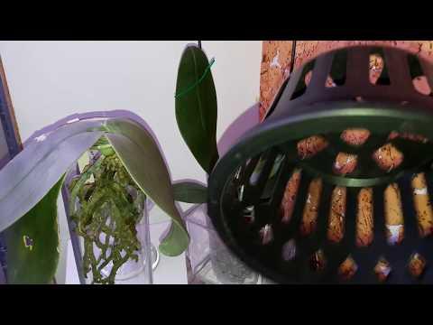 Фаленопсис гигантея обзор. Корзинки для станхопий. Phal Gigantea and baskets for stanhopea.