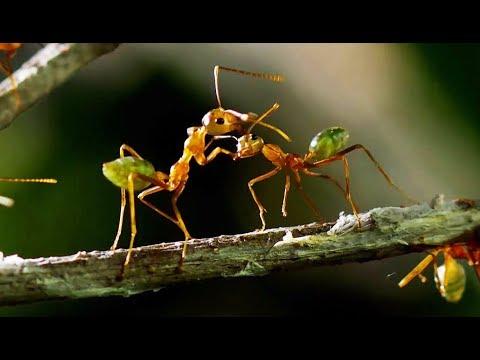 Une forteresse de fourmis attaquée par une armée ! - ZAPPING SAUVAGE