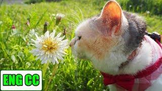 お散歩猫ネコ吉の2018年春散歩、part2の様子です。 今回は関東では珍し...