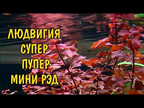 ЛЮДВИГИЯ СУПЕР РЕД ( Ludwigia super red )