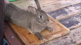 Rabbit Butcher1