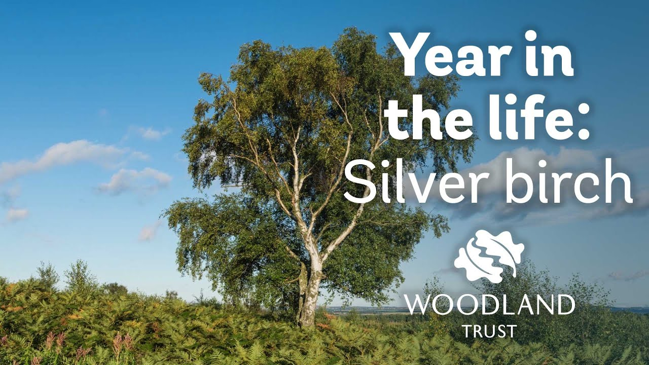 a year in the life of a silver birch youtube