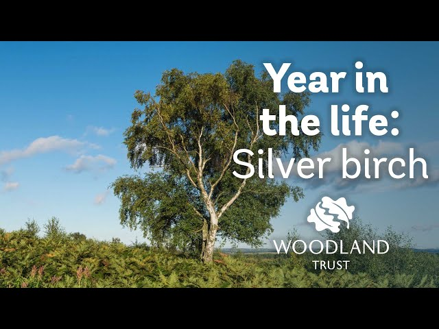 A Year in the Life of a Silver Birch