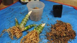 re potting monn millenium magic witchcraft black orchid