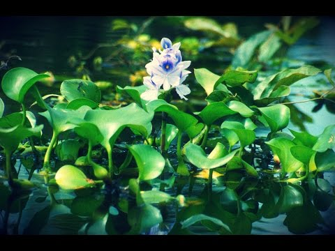 Water Hyacinth - Invasive Weed or Livestock Feed?