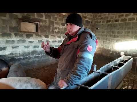 Откорм поросенка на мясо в домашних условиях