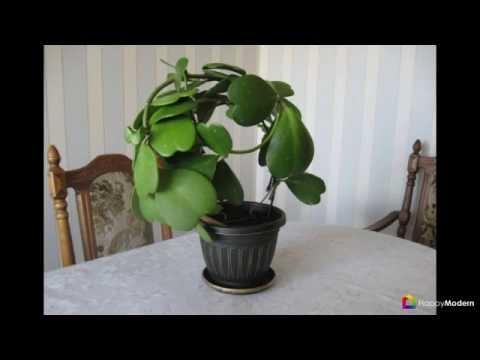 Хойя (восковой плющ) неприхотливая цветущая лиана