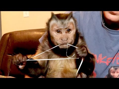 Capuchin Monkey Flossing Teeth