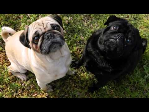 beautiful pictures of pug breed dogs