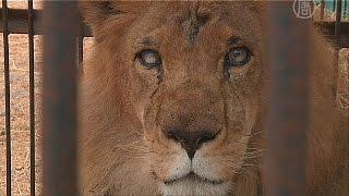 Животным-жертвам цирков ищут новый дом (новости)(http://ntdtv.ru/ Животным-жертвам цирков ищут новый дом. Этот лев слепой на один глаз. Это - результат побоев в цирке..., 2015-07-01T13:14:38.000Z)