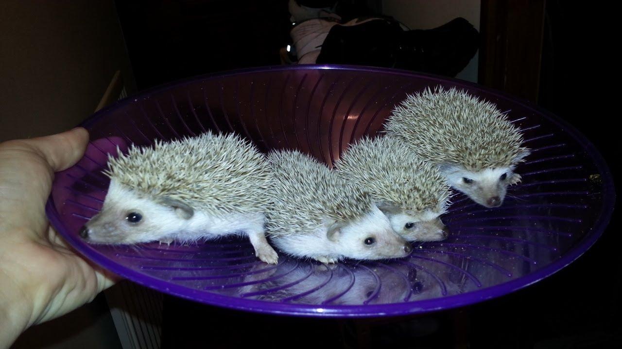 African Pygmy Hedgehog for Sale - UK Hobby Breeder - YouTube