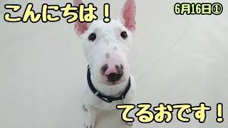 てるおくん『しっぽぶりぶり!』 チワワ ミミちゃん ヨーキー ゆずちゃ...