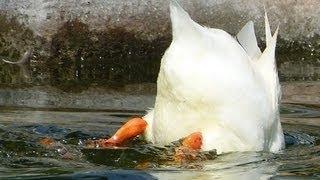 """Simpatica """"Anatra domestica"""" che pesca - Funny fishing """"Domestic Duck"""""""