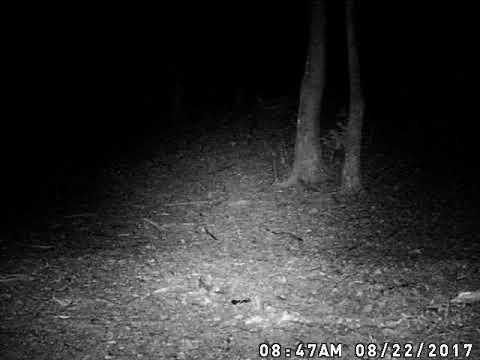 Tennessee bobcat