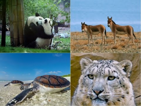 Amazing China: Preservation Programs Save China's Endangered Species from Extinction