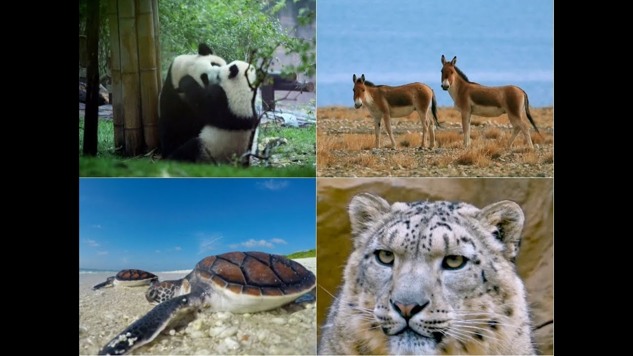 the variety of endangered species in china The 6 most endangered feline species by john r platt on april 10 the big cats still face a variety of perils south china tigers.