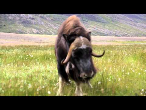Musk oxen mock attack Greenland August 2015