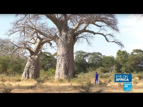 Baobab: the magic tree under threat