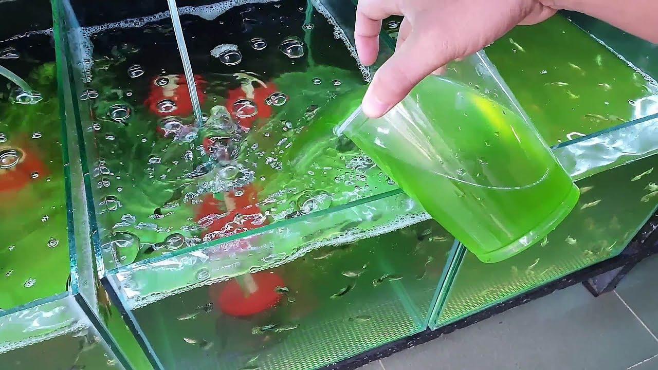 Cách tạo TẢO để nuôi bobo, nuôi artermia, nuôi cá