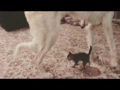 Borzoi & Kitten playing