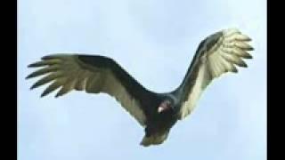 Sayap Burung Nazar Klip