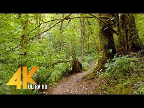 4K Forest Walk Accompanied by Bird Singing - Coal Creek Natural Area, Newcastle, WA State