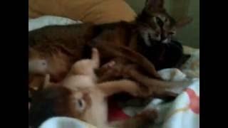 Питомник абиссинских кошек  GOLD VEIN в СПб