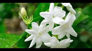 18 Jasmine Benefits For Health and Beauty
