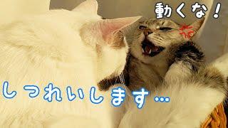 姉猫の顔の前でも遠慮なくパッカーンする弟猫