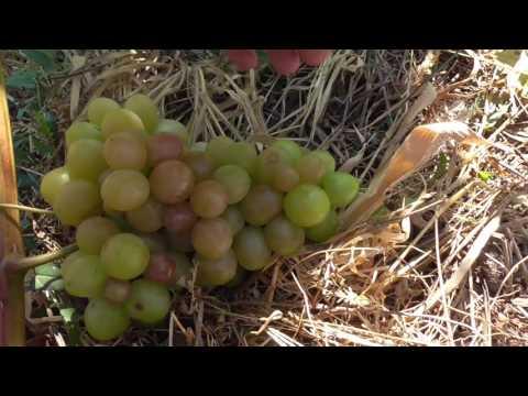 винограда сорт 10 и z фото описание