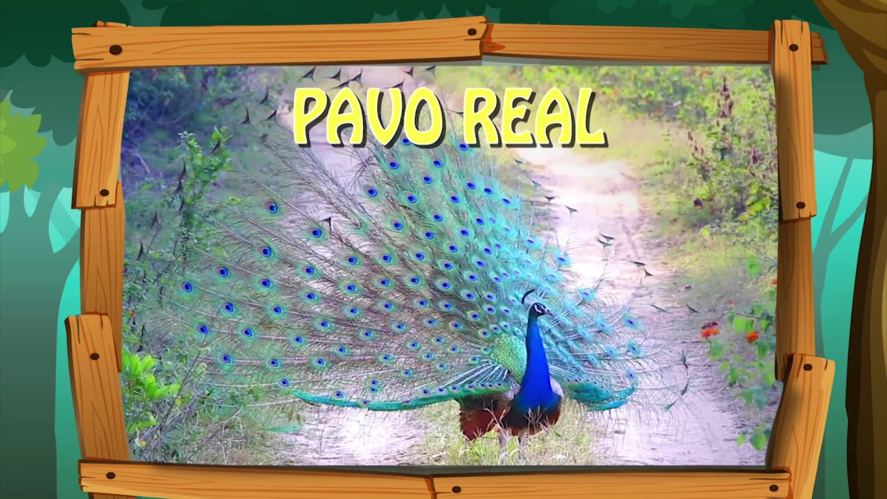 Las aves - pavo real - YouTube