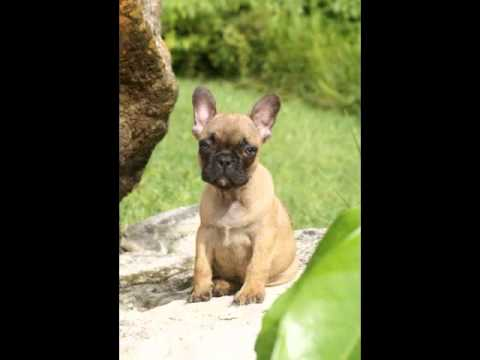 Red Fawn French Bulldogs