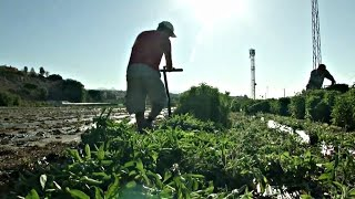 видео Выращивание стевии