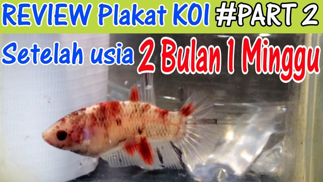 Mutasi Ikan Cupang Plakat Koi Usia 2 Bulan 1 Minggu Part 2 Youtube