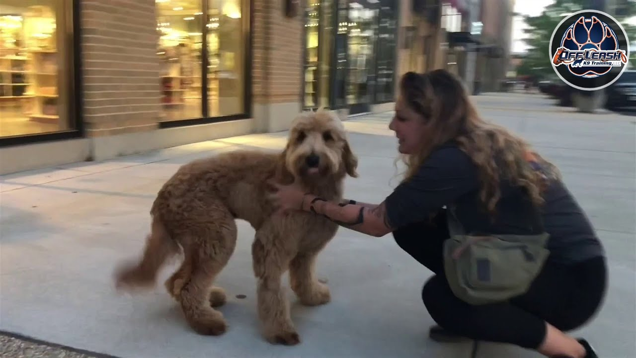 7 Month old Goldendoodle Cava!  Best dog trainers Va  E-collar training   Obedience training