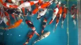 Ikan Koi Di Kolam Kecil
