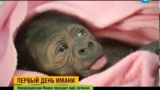 Ветеринары зоопарка Сан Диего выхаживают новорожденную гориллу(Врачи зоопарка Сан-Диего борются за жизнь новорожденного детеныша гориллы, страдающего от коллапса легког..., 2014-03-15T15:41:56.000Z)