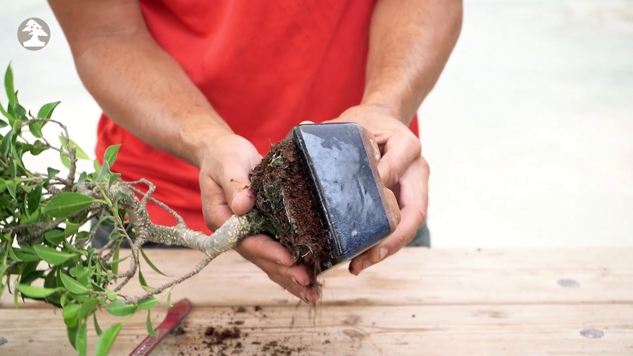 Mistral Bonsai - Trasplante de un bonsái