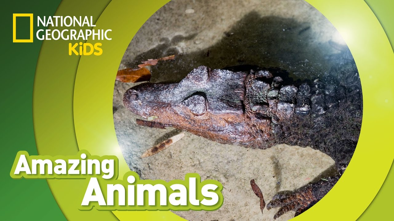 Black Caiman | Amazing Animals