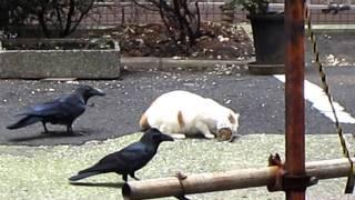 一つの缶詰ををめぐる争い。 缶詰に夢中な猫と、順番を待つカラスの位置...