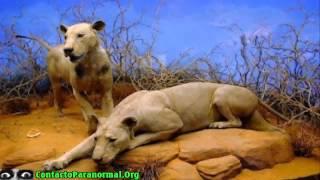 Animales Asesinos   Los Devoradores de hombres de Tsavo