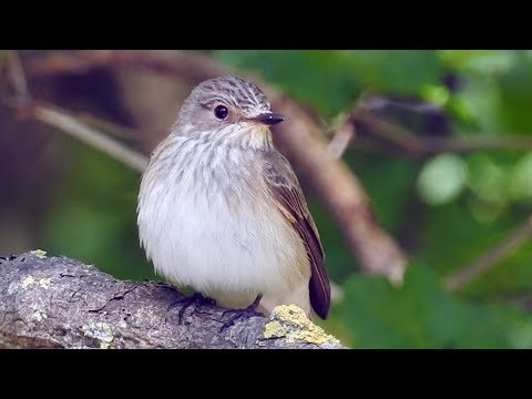 Spotted flycatcher, Grauschnäpper