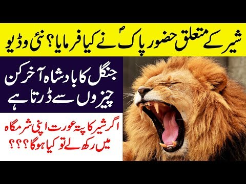 Hidden And Interesting Facts About Lion In Urdu/Hindi || Lion Documentary In Hindi