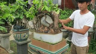 Vườn mai bonsai phối tượng đẹp của ông chú