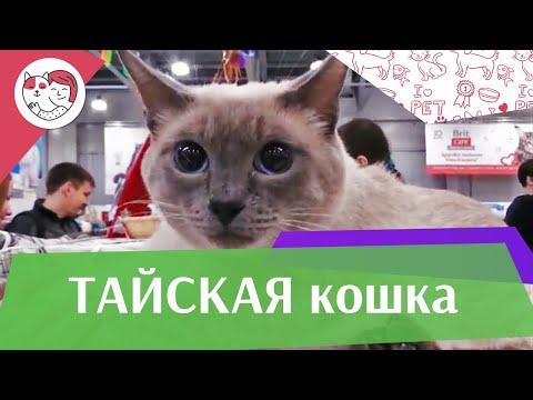 Тайская кошка. Особенности. Уход